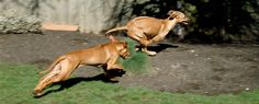 The Northwest Rhodesian Ridgeback Club. Included in its membership are families owned by Ridgeback's from Washington, Oregon, and Idaho...Check out their website for fun events in Washington...