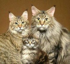 What is the Average Maine Coon Lifespan A Maine Coon is a large breed of cat, not just referring to its voluptuous fur but its body mass, too. The Maine Coon lifespan is hardly any. Pretty Cats, Beautiful Cats, Animals Beautiful, Cute Animals, Beautiful Family, Cute Cats And Kittens, Cool Cats, Kittens Cutest, Bb Chat