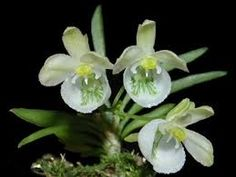 Image result for Chytroglossa aurata