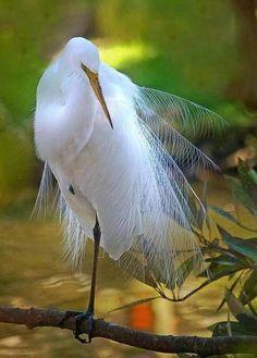 funnywildlife:    Snowy Egret!!
