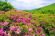 See beautiful Craggy Gardens on the Blue Ridge Parkway near Asheville North Carolina with amazing views of the Blue Ridge Mountains and large expanses of native rhododendron. Blue Ridge Parkway, Blue Ridge Mountains, Craggy Gardens, Linear Park, Most Visited National Parks, Asheville North Carolina, Places In America, Beautiful Places, Bloom
