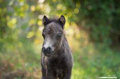 mini-shetty foal by Pfeffernase on DeviantArt Pretty Horses, Horse Love, Beautiful Horses, Free Horses, Wild Horses, Baby Animals, Cute Animals, Horse Feed, Getting A Puppy
