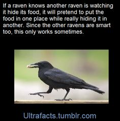 When it comes to intelligence, these birds rate up there with chimpanzees and dolphins. In one logic test, the raven had to get a hanging piece of food by pulling up a bit of the string, anchoring it with its claw, and repeating until the food was in reach. Many ravens got the food on the first try, some within 30 seconds. In the wild, ravens have pushed rocks on people to keep them from climbing to their nests, stolen fish by pulling a fishermen's line out of ice holes, and played dead…