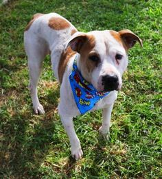 BOWMAN  - URGENT - BARC Animal Shelter in Houston, Texas - ADOPT OR FOSTER - 4 year old Neutered Male Am. Staffordshire Mix - at the shelter since July 2, 2016.