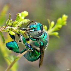 Green Orchid Bee (Euglossa dilemma) I love the chrome iridescent bugs! Cool Insects, Bugs And Insects, Beautiful Creatures, Animals Beautiful, Cute Animals, Beautiful Bugs, Beautiful Butterflies, Bee Pictures, Mason Bees