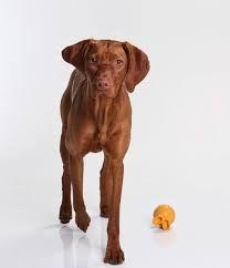 Image result for vizsla dog