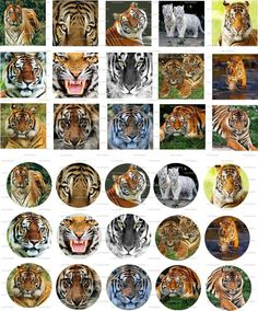 Tigers Digital Collage 1 inch / 103 by LisaChristines on Etsy, $1.50