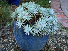 Dudleya virens subsp. hassei – Catalina Island Liveforever - See more at: http://worldofsucculents.com/dudleya-virens-subsp-hassei-catalina-island-liveforever