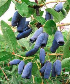 Szibériai mézbogyó ´Blaue Triumph´ Triumph, Fruit, Vegetables, Gardening, Blue, Lawn And Garden, Vegetable Recipes, Veggies, Horticulture