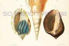 1861  Coquillages Rostellaire Casque Zèbre Orbigny Planche Originale Couleurs peintes main Qualité Exceptionnelle Crustacés Vie des Océans