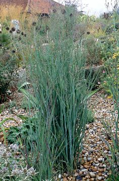 Panicum virgatum 'Warrior' : hardy, 0.5 to 1m height and spread, any aspect.  Deciduous perennial grass,, leaves turn yellow in autumn, large purple flowering panicles.  Ornamental grass