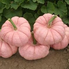 Pink Love, Pretty In Pink, Pink And Green, Hot Pink, Purple, Tips And Tricks, Plant Covers, Pink Pumpkins, Painted Pumpkins
