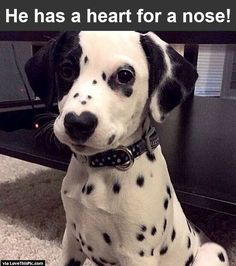 Dog With Heart On His Nose cute animals dogs adorable dog puppy animal pets funny animals funny pets funny dogs Cute Puppies, Dalmatian Puppies, Dogs And Puppies, Doggies, Funny Dog Videos, Funny Dogs, Cute Dogs Breeds, Dog Breeds, Dog Hotel