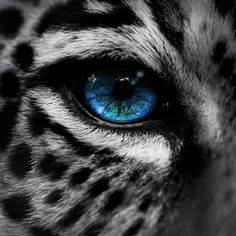 Leopard With Blue Eyes | Snow leopard blue eye iPad Wallpaper