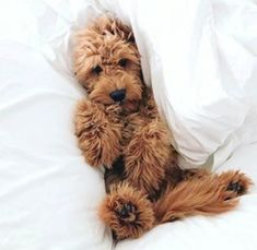 Havanese is the perfect pet. He loves the owners and is kind to children. But this is not all the advantages of the breed, want to know more? Goldendoodle Miniature, Mini Goldendoodle Puppies, Havanese, Cute Dogs And Puppies, I Love Dogs, Doggies, Cute Funny Animals, Cute Baby Animals, Animals Dog