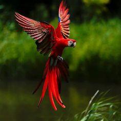 scarlet macaw.....