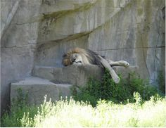 A lion sleeping at Brookfield Zoo.