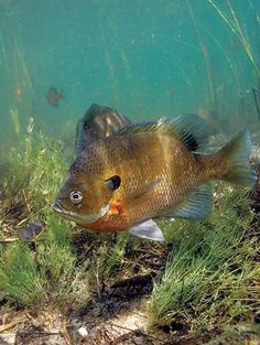 1000 images about bluegill fishing on pinterest fishing for Bluegill fish tank