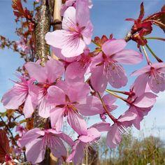 Prunus sargentii 'Rancho' Tree