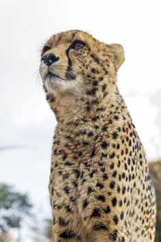 https://flic.kr/p/zuDmqK | Sithle looking far away | My cute friend Sithle the cheetah looking at the game animals, sitting on his platform.
