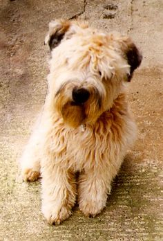 Soft Coated Wheaten Terriers - Norfolk - OnlyHobbsAndWheatens.co.uk