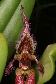 Cirrhopetalum fascinator - this is a creepy looking orchid