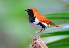 アカヒゲ (赤髭) Ryukyu robin (Larvivora komadori, Erithacus komadori)