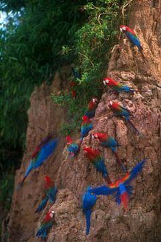Resultado de imagem para macaws in the rainforest