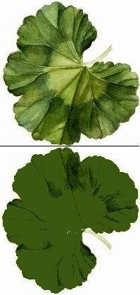Feuille geranium recto verso