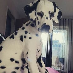 Reposted from @dadami__  #dalmatian #dalmata #dalmation #dalmatians #dalmatiansofinstagram #dalmatiner #dalmatiannation  Tag a friend below by dalmatianlovers #lacyandpaws