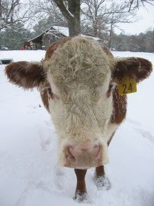 Do Cows Wear Snow Shoes? | The Nature Tour - Last week we were visited by an unusual creature in Texas – Snow! It was a shocking surprise to the critters on my father-in-law's farm... By Kim Jones... thenaturetour.com -- winter, snow, cow