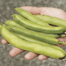Growing Broad Fava Beans from Seed - How to Grow Broad Beans from Seed - West Coast Seeds