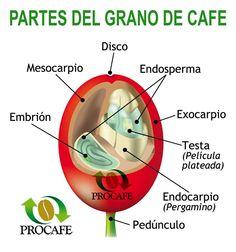 CONOZCA LAS PARTES DE UN GRANO DE #CAFÉ