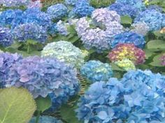 These beautiful, shade-loving shrubs also thrive in pots. Get planting and growing tips, plus find the best hydrangea varieties for pots with help from HGTV. Hydrangea Color Change, Hydrangea Colors, Hydrangea Care, Hydrangea Flower, Types Of Hydrangeas, Hydrangea Varieties, Flowering Shrubs, Trees And Shrubs, Hydrangea Diseases