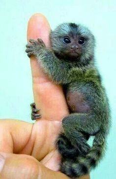 Marmoset - smallest monkey in the world