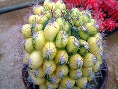 Gymnocalycium-saglionis - via fb page Cactusworld #succulent #cactus