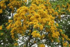 """Buy the royalty-free Stock image """"Beautiful Flower, Yellow Color of Padauk Flower or Papilionoideae"""" online ✓ All image rights included ✓ High resolutio. Image Beautiful, Beautiful Flowers, Beautiful Body, Asian Flowers, List Of Flowers, National Symbols, New Year Celebration, Flower Images, Bloom"""