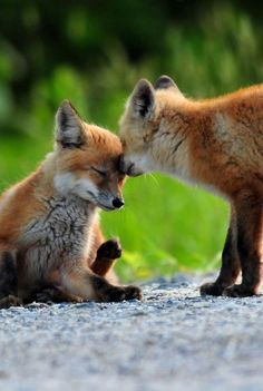Cute foxes comforting each other.