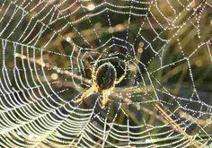 Mengapa Laba-Laba Memakan Jaring Mereka Sendiri? Hal ini sangat umum bagi laba-laba untuk makan jaringan mereka sendiri, yang memungkinkan mereka untuk mendaur ulang asam amino yang dimilikinya. Hal ini mengurangi banyak energi untuk memproduksi jaringan baru.