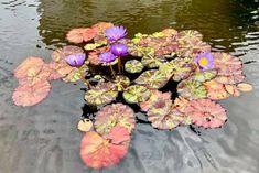 Chamomile Tea, Lily Pond, Floral Wreath, Wreaths, Pink, Color, Floral Crown, Door Wreaths, Colour