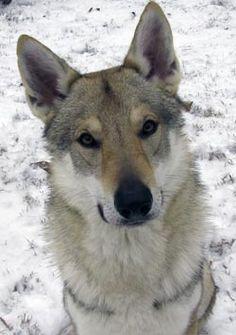 Czechoslovakian Vlcak - Google Search.... russian wolf & german shepherd.... actual breed registered