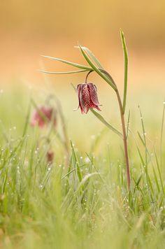 tulipe des goudebas by Gabriele Schindl on 500px