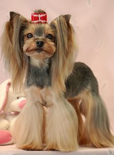 Japanese style Yorkie. No no no no .......  Nope. My York ie is messy =)