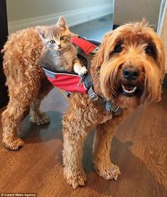Furry friends Jessie, an Australian Labradoodle, and Koda, a rescue kitten, live with their doting owner Emily Aubrecht, 23, in Alberta USA ---- quelle: Daily http://Mail.com