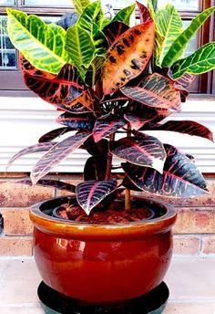 Croton Plant in pot - Forex Leafy Plants, Fake Plants, Green Plants, Potted Plants, Indoor Plants, Plants In Pots, Landscaping With Rocks, Landscaping Plants, Tropical Garden