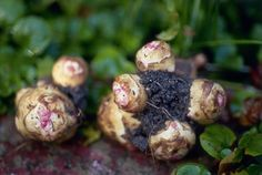 Jerusalem artichokes, or sunchokes, are delicious, potato-like root vegetables. They are easy to grow, but come with their own unique set of challenges. Here's what you need to know to grow your own Jerusalem artichokes. Natural Farming, Natural Garden, Organic Farming, Organic Vegetables, Growing Vegetables, Root Vegetables, Organic Insecticide, Garden Guide, Garden Ideas