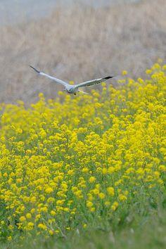 Above Yellow Carpet, Hen Harrier by Mubi.A