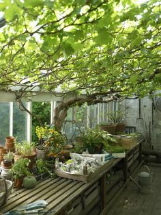 How to Grow White Seedless Grapes in a Container Garden