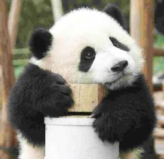Baby panda in deep contemplation. Panda Love, Cute Panda, Red Panda, Cute Baby Animals, Animals And Pets, Baby Pandas, Giant Pandas, Baby Bears, Wild Animals