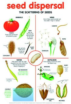 seed dispersal by wind Plant Science, Science Biology, Teaching Science, Life Science, Science And Nature, Science Resources, Science Lessons, Science Activities, Primary Science